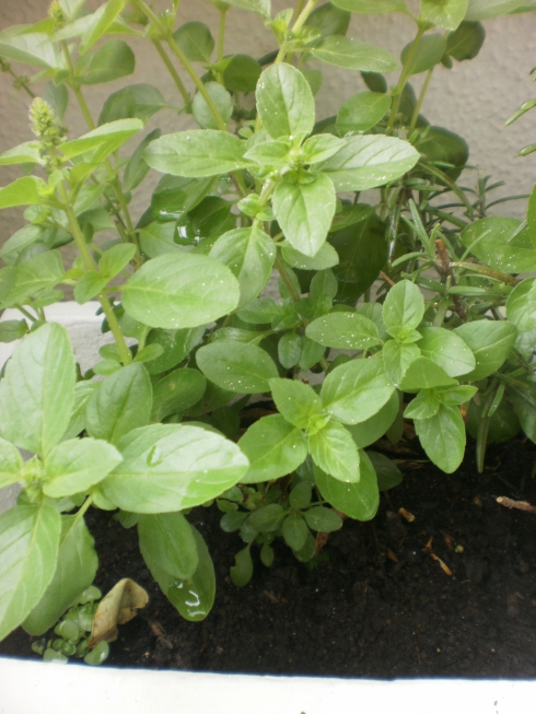 manjericão frequinho plantado em floreira na sacada